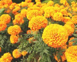 マリーゴールドの花から抽出したままのマリーゴールド・オレオレジン(エステル体)を精製および結晶化した天然素材