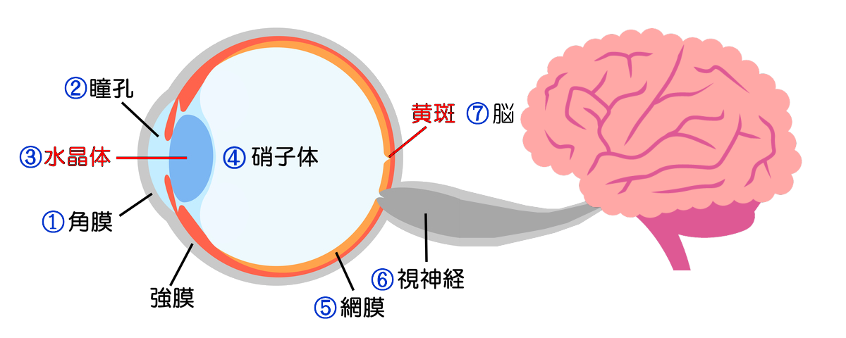 「光」⇒①角膜→②瞳孔→③水晶体→④硝子体→⑤網膜→⑥視神経⇒⑦脳が映像として認識